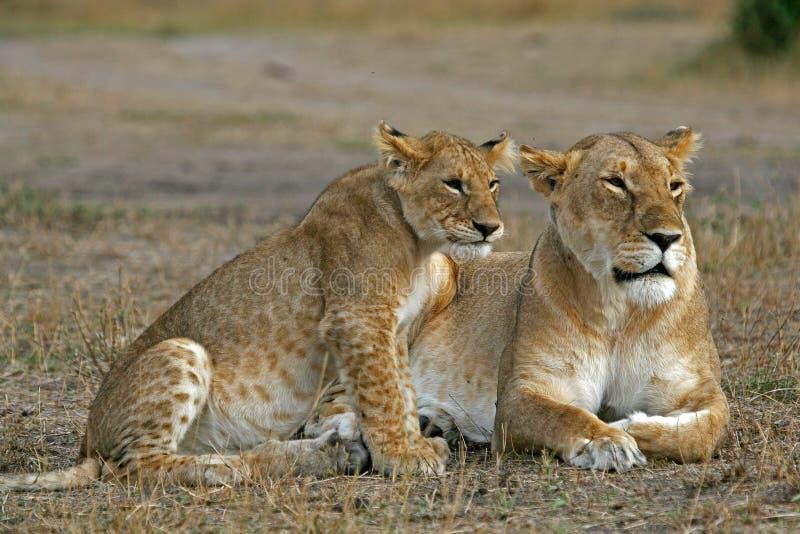 Afrikaanse Leeuwen stock fotografie