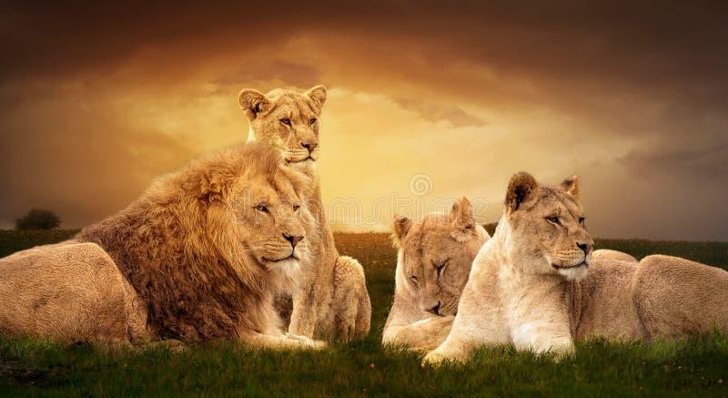 Afrikaanse leeuwen die in het groene gras rusten royalty-vrije stock afbeelding