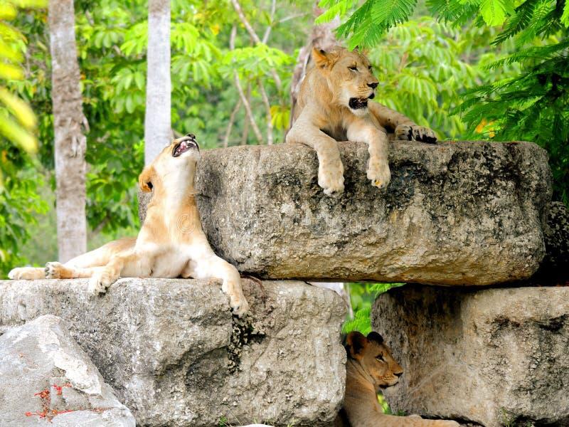 Afrikaanse leeuwen die tanden tonen royalty-vrije stock foto