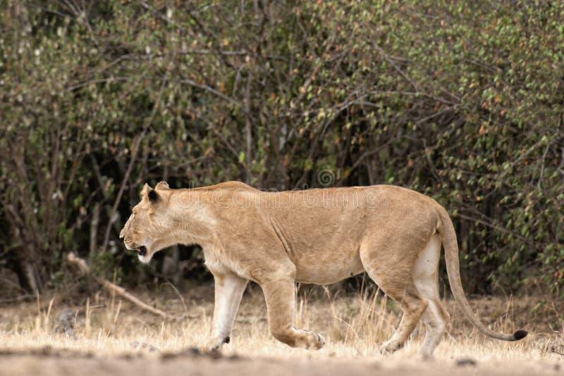 Afrikaanse leeuwin royalty-vrije stock foto's