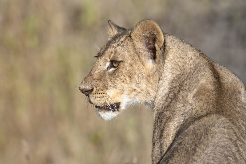 Afrikaanse leeuwin royalty-vrije stock foto