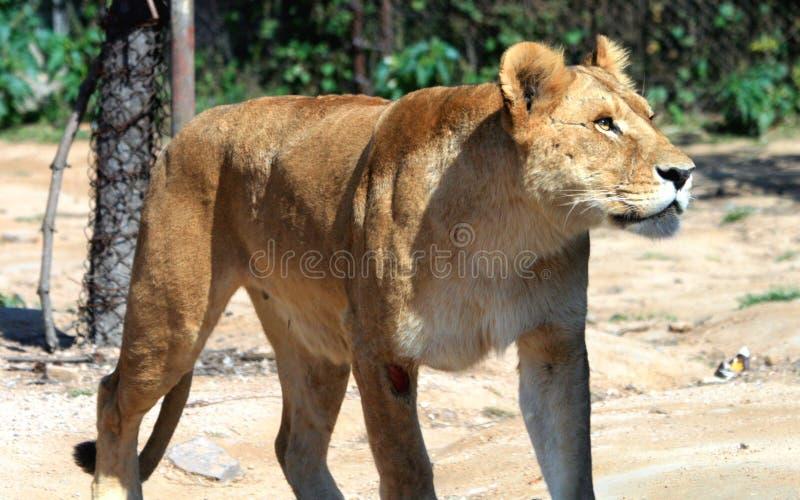 Afrikaanse Leeuwin stock fotografie