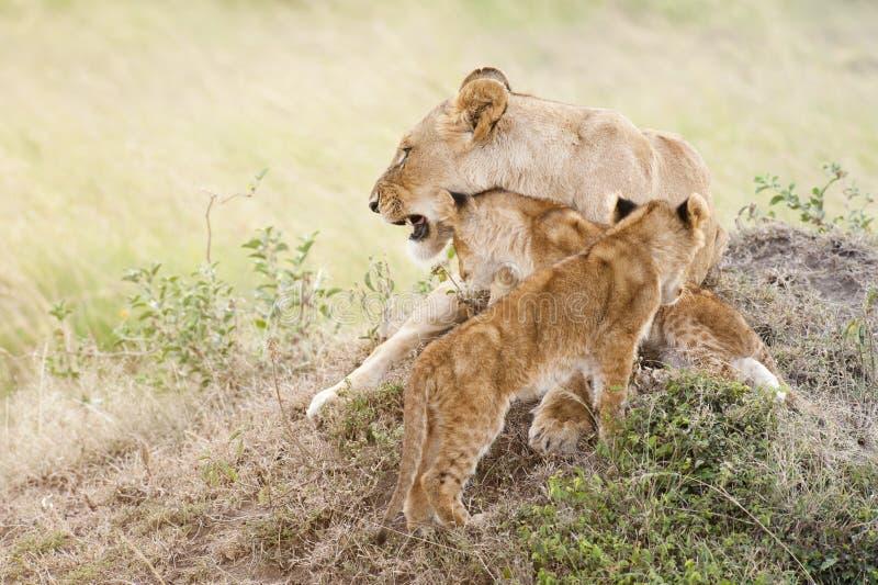 Afrikaanse leeuwin met twee welpen royalty-vrije stock fotografie