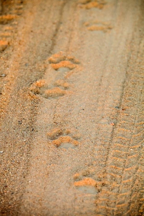 Afrikaanse Leeuwvoetafdrukken op een landweg op safari stock foto