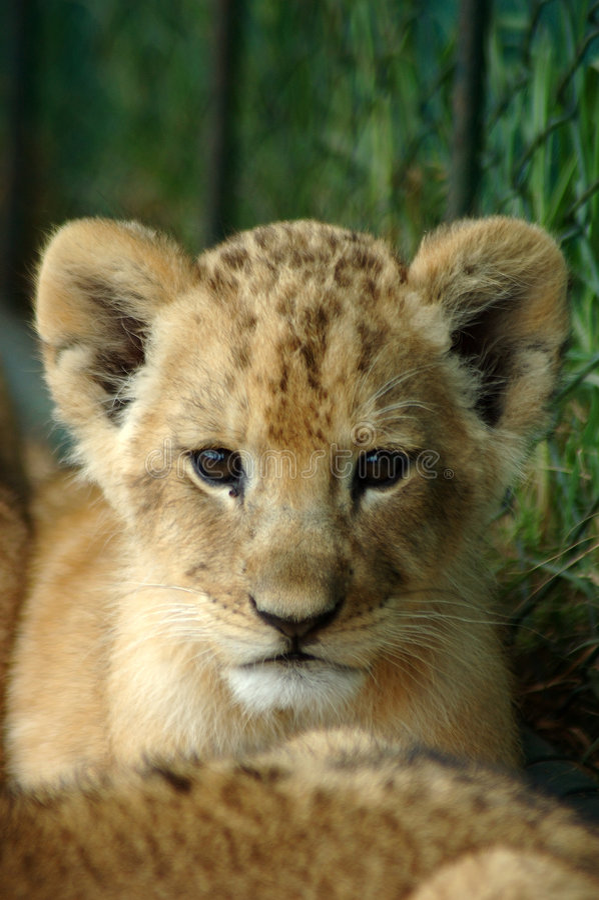 Afrikaanse leeuwwelp stock afbeelding