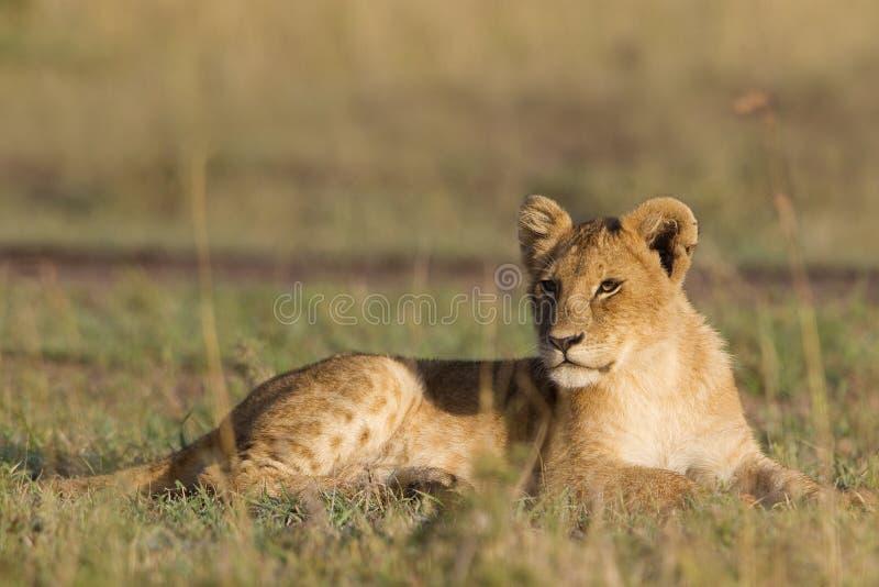 Afrikaanse leeuwwelp stock afbeeldingen