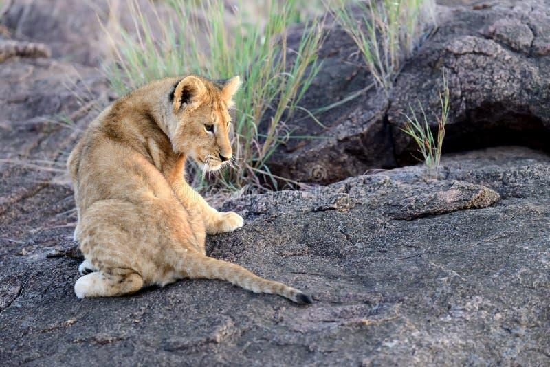 Afrikaanse leeuwwelp stock fotografie