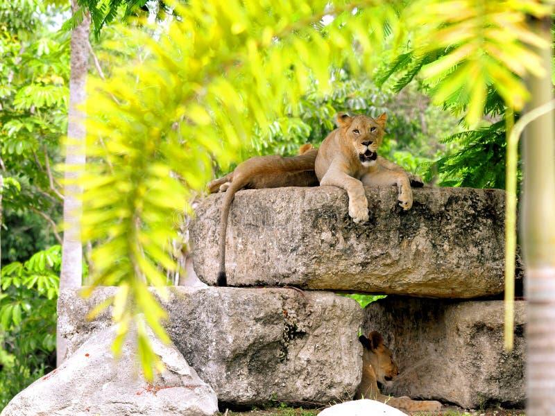 Afrikaanse leeuwwelpen en moeder stock foto