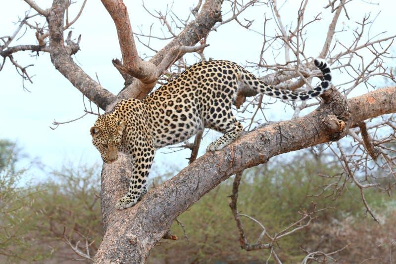 Afrikaanse Luipaard royalty-vrije stock fotografie