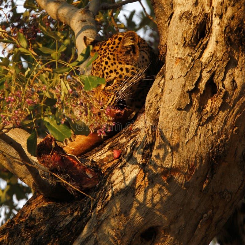 Afrikaanse Luipaard hoog in een boom stock afbeelding