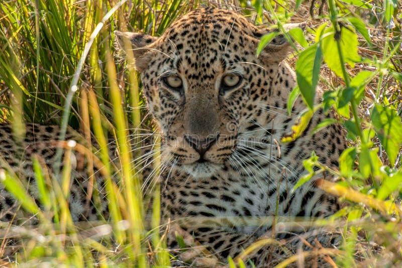 Afrikaanse Luipaard, Zuiden Luangwa, Zambia stock foto