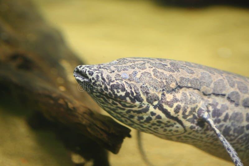 Afrikaanse Lungfish stock fotografie