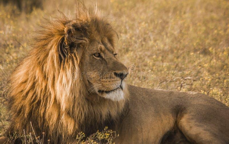 Afrikaanse Mannelijke Leeuw stock afbeelding