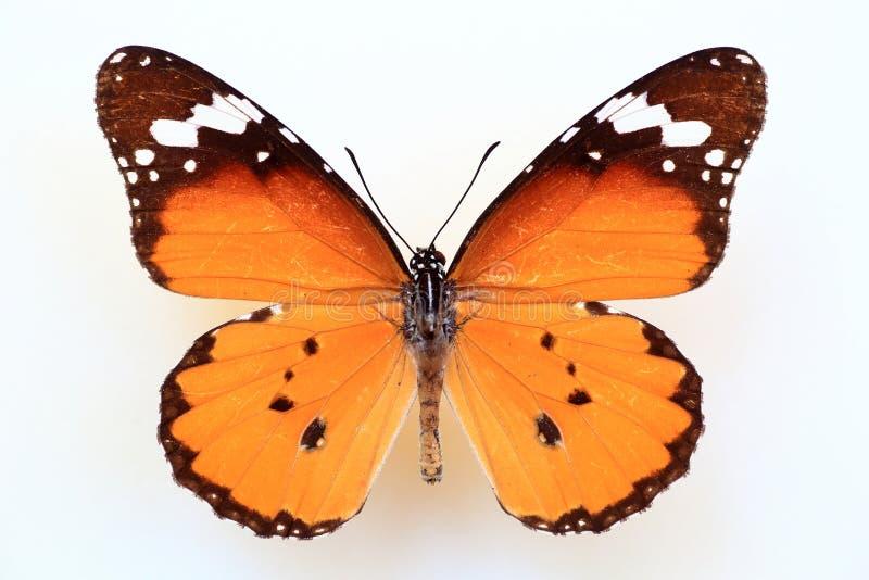 Afrikaanse monarch of duidelijke tijger stock foto's