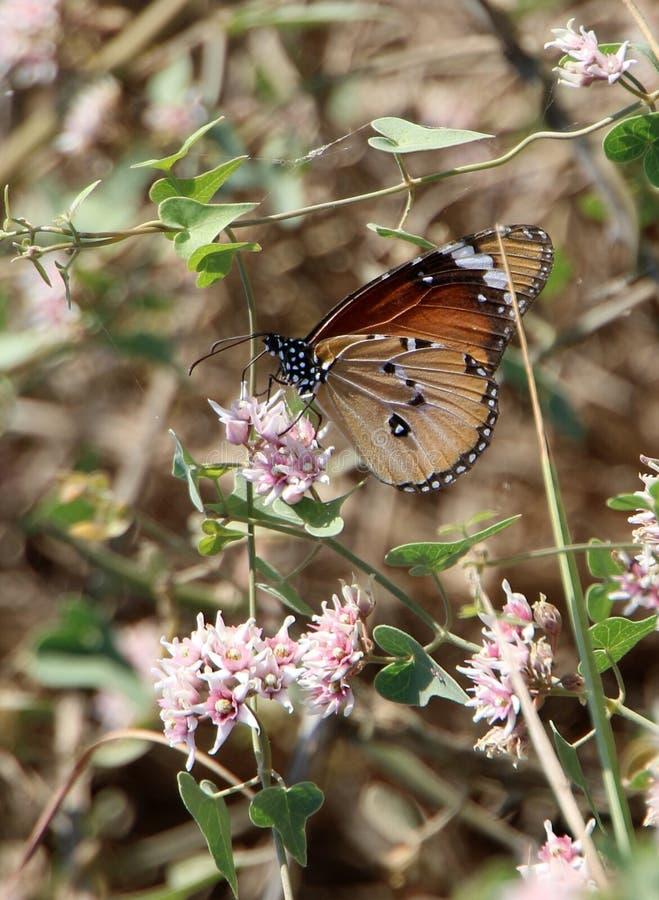 Afrikaanse monarch op een Cynanchum-acutum stock afbeeldingen
