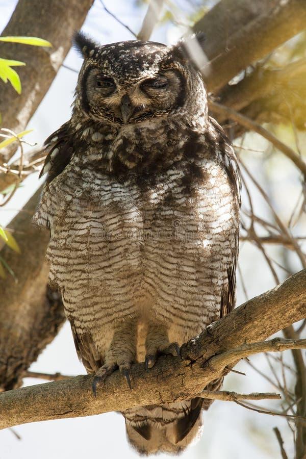 Afrikaanse Oehoe,被察觉的老鹰猫头鹰,腹股沟淋巴肿块africanus 库存图片