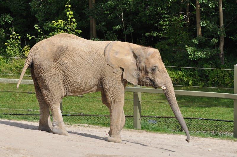 Download Afrikaanse Olifant stock foto. Afbeelding bestaande uit behoud - 10778818
