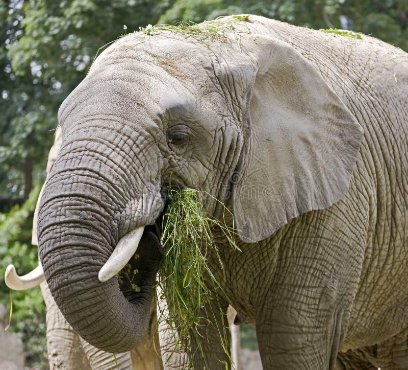 Afrikaanse olifant 3 stock foto