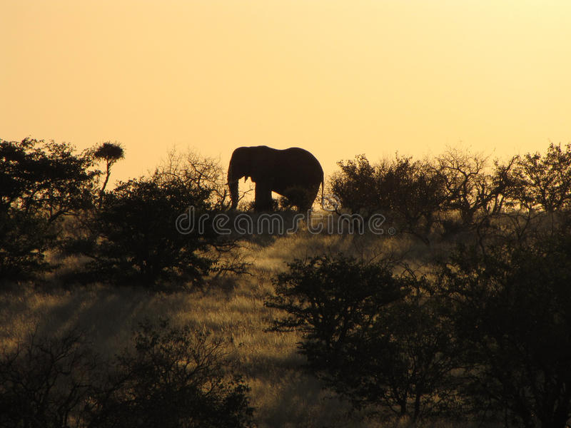 Afrikaanse olifant bij zonsondergang royalty-vrije stock fotografie