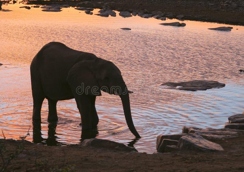 Afrikaanse Olifant bij zonsondergang stock afbeeldingen