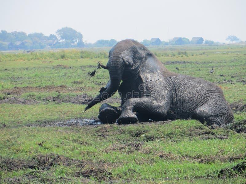 Afrikaanse olifant in de modder stock afbeelding
