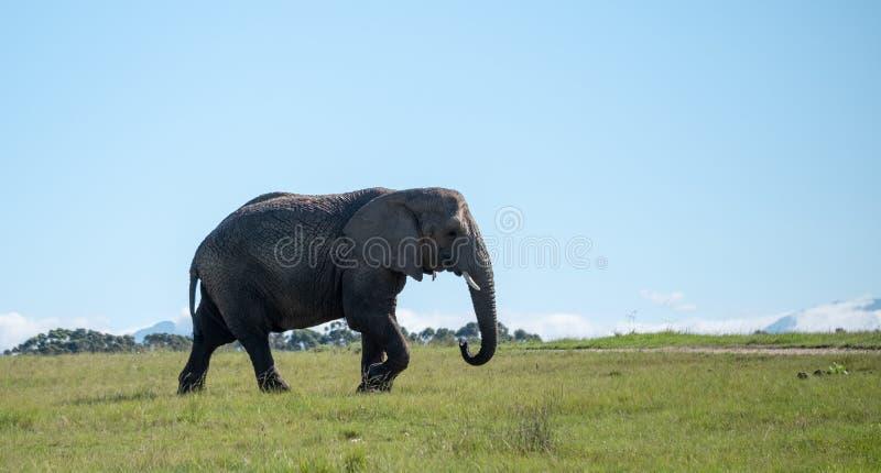 Afrikaanse olifant, die bij Knysna-Olifantspark wordt gefotografeerd in de Tuinroute, Westelijke Kaap, Zuid-Afrika royalty-vrije stock fotografie