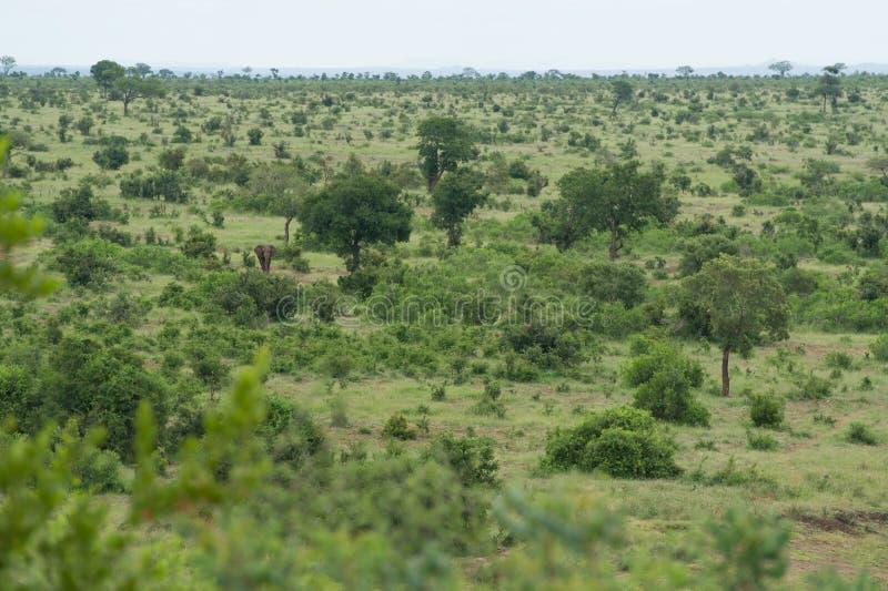 Afrikaanse Olifant die de Savanne zwerven stock foto