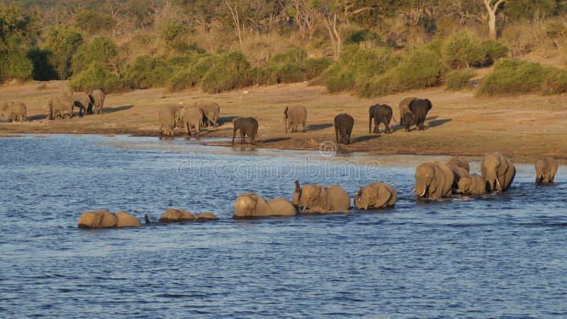 Afrikaanse olifant die rivier kruisen bij rivier in het Nationale Park van Chobe stock foto's