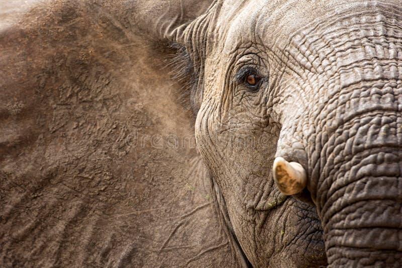 Afrikaanse olifant (Loxodonta-africana) royalty-vrije stock foto's