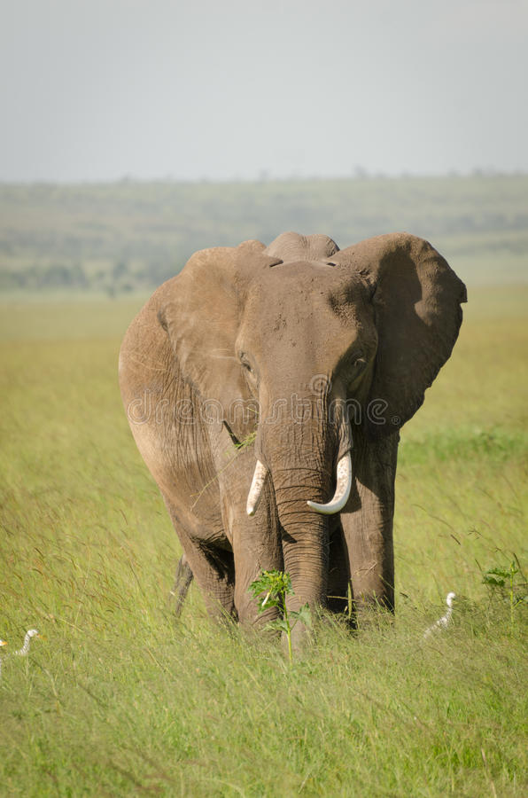 Afrikaanse olifant in Masai Mara National Reserve, Kenia royalty-vrije stock foto
