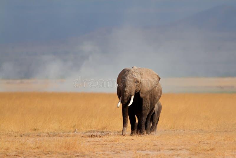 Afrikaanse olifant met kalf stock afbeelding