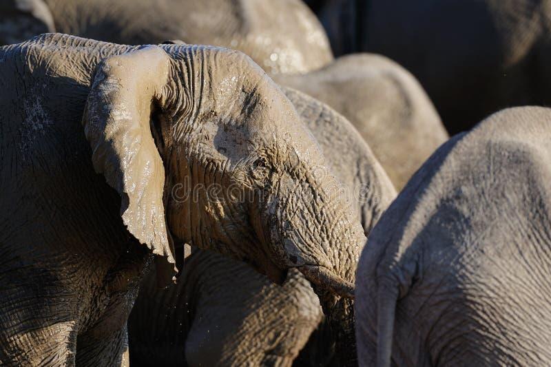 Afrikaanse olifant met modder op haar hoofd, etosha nationalpark, Namibië stock fotografie