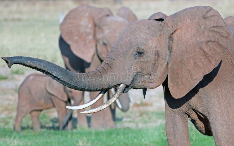 Afrikaanse olifant met uitgebreide boomstam en zeer lange slanke slagtanden royalty-vrije stock foto's