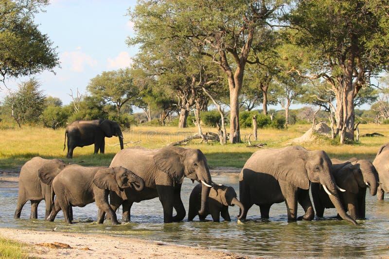 Afrikaanse Olifant, Zimbabwe, het Nationale Park van Hwange royalty-vrije stock afbeeldingen