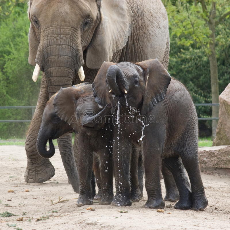 Afrikaanse olifanten stock afbeeldingen