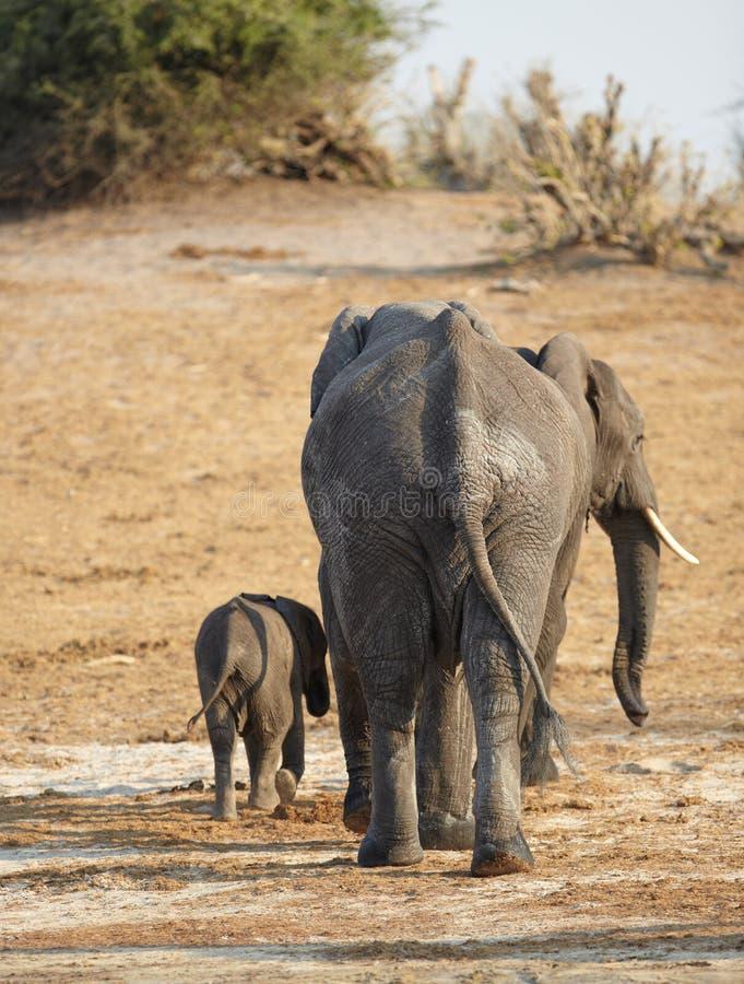 Afrikaanse Olifanten royalty-vrije stock afbeelding