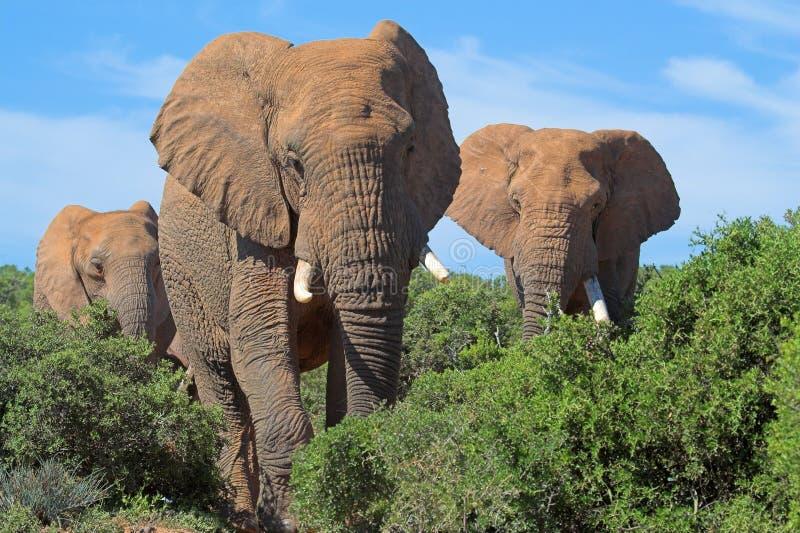 Afrikaanse Olifanten stock foto