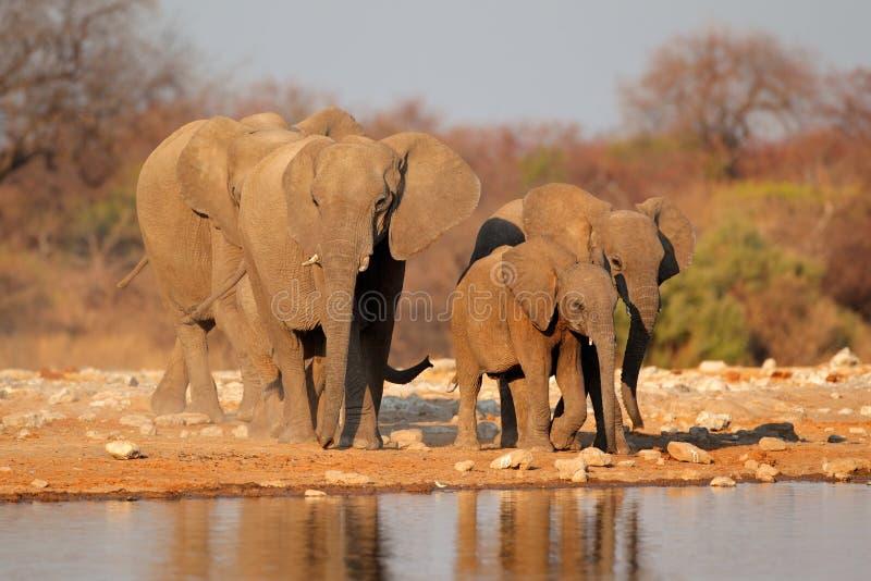 Olifanten bij waterhole, Etosha stock afbeelding