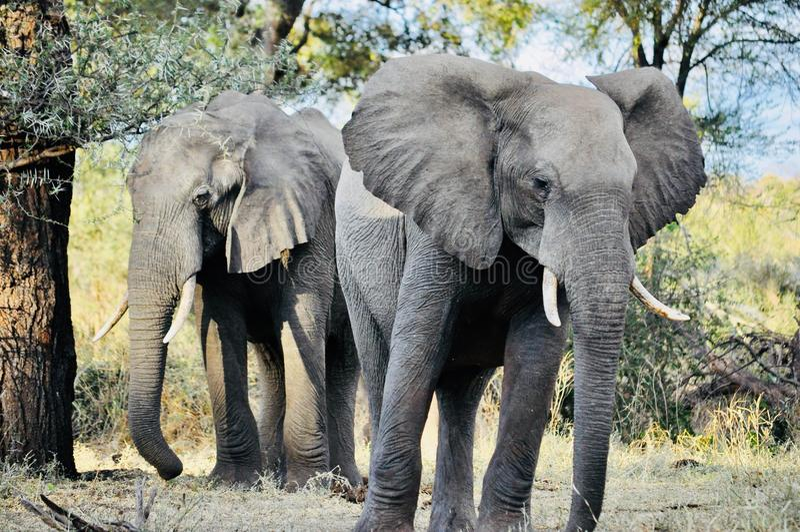 Afrikaanse olifanten in de wildernis stock afbeelding