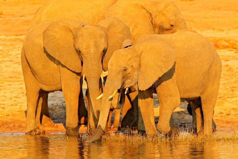 Afrikaanse olifanten die bij een waterhole drinken die hun boomstammen, Hwange, Zimbabwe opheffen Het wildscène van aard Olifant  stock foto