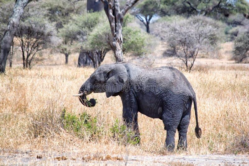 Afrikaanse olifanten die in savanne lopen royalty-vrije stock fotografie