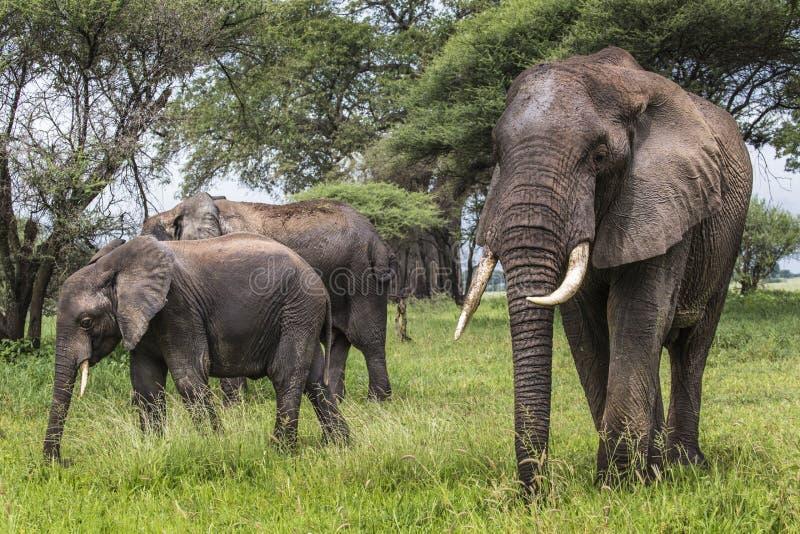 Afrikaanse olifanten die in savanne in Nationale Tarangire lopen royalty-vrije stock afbeeldingen