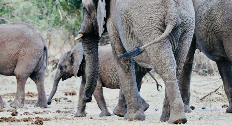 Afrikaanse Olifanten en kalveren in de wildernis royalty-vrije stock afbeelding