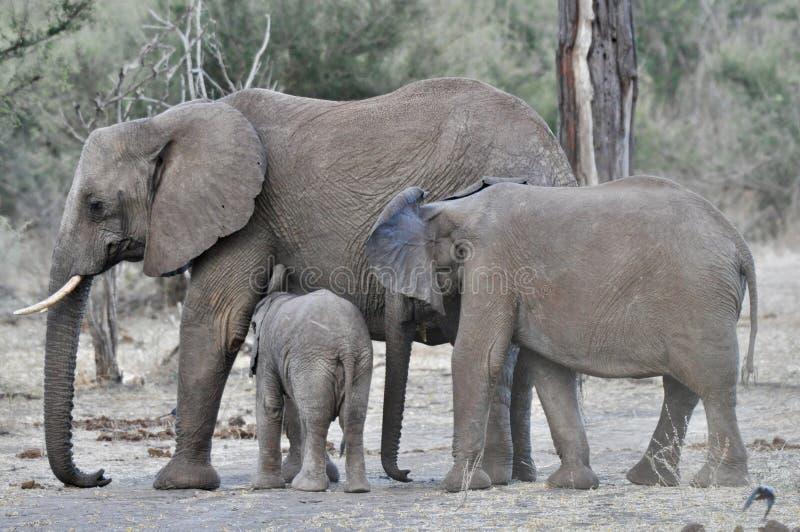 Afrikaanse Olifanten en kalveren in de wildernis royalty-vrije stock fotografie