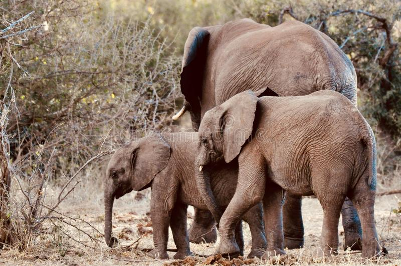 Afrikaanse Olifanten en kalveren in de wildernis royalty-vrije stock foto's