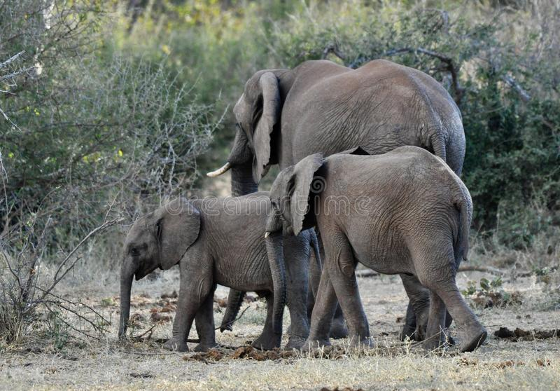 Afrikaanse Olifanten en kalveren in de wildernis stock foto's