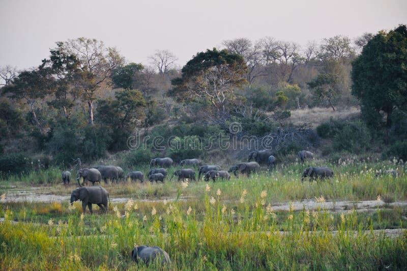 Afrikaanse Olifanten en kalveren in de wildernis stock afbeeldingen