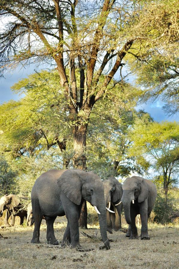 Afrikaanse Olifanten en kalveren in de wildernis royalty-vrije stock foto