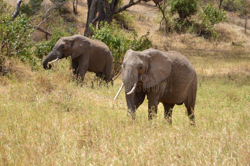 Afrikaanse olifanten grazen op groot gras in hun natuurlijke habitat stock foto's