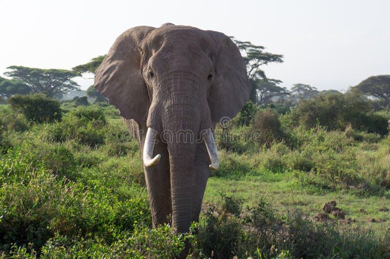 Afrikaanse olifanten in het Nationale Park van Amboseli stock foto